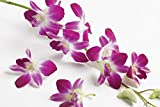 Dendrobium Orchid Hawaiian Starter Plant - Approx. 6 - 10 Inches Tall