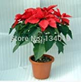 Poinsettia seeds,Euphorbia pulcherrima,potted plants, planting seasons, flowering plants --100 pcs / bag