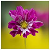 "GREATBIGCANVAS Poster Print Entitled Colorful Cerise Pink Single Cosmos Sonata Facing Front. by 12""x12"""