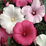 Outsidepride Rose Mallow Mix - 1000 Seeds