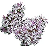 'Miss Kim' Lilac- Syringa pubescens subsp. patula - Hardy Established Roots - Two Gallon - by Growers Solution