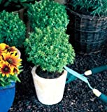 """Clovers Garden Boxwood Basil Plant - Two (2) Live Plants - Not Seeds -Each 4""""-7""""tall- in 3.5 Inch Pots"""
