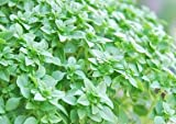 Basil Herb Seeds- Dwarf Greek- 300+ Seeds