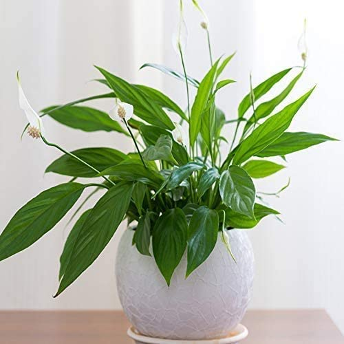 Peace Lily Plants Air Purifying And Filtering Grow Your Own Indoor House Plants Compact Bushy