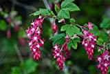 Details About Red Currant - Ribes sanguineum - 2 Gallon Live Plant - Red Flowers in Spring