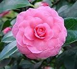 Pink Perfection Camellia Japonica - Live Starter Plant