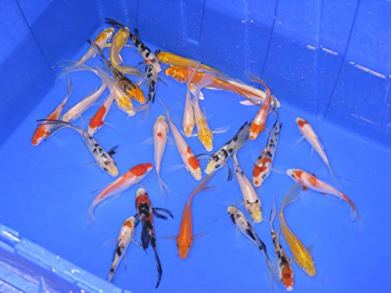 Live-Butterfly-Fin-Koi-for-Garden-Pond-Goldfish-Aquarium-or-Tank--Live-Butterfly-Fin-Koi--Born-and-Raised-in-The-USA-Live-Arrival-Guarantee