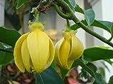 10 seeds Artabotrys hexapetalus, Ylang-Ylang Thai herbs, longevity