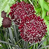 Outsidepride Scabiosa Red - 200 Seeds