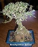 Kurrajong Bottle Tree 10 Seeds - Brachychiton -Tropical