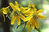 Verbesina occidentalis | Yellow Wingstem | Crown-Beard | 100_Seeds
