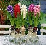 Hyacinthus orientalis daffodils seeds hydroponic bonsai home garden flowers Seeds