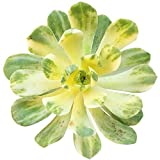 HIGH Germination Seeds:4 inch : Variegated Aeonium Suncup Castello-pae f. variegata (2'' or 4'')