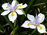 20 Seeds Butterfly African Iris Flower Dietes Vegeta Aquatic Plant Seed