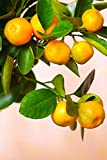 Calamondin Orange Tree, Mandarin Kumquat Hybrid Citrus (Excludes: CA,TX,LA,AZ)