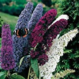 Outsidepride Butterfly Bush Plant Flower Seed Mix - 100 Seeds