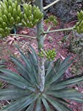 AGAVE WEBERI plants - 4 ORGANIC ROOTED pups starter plants