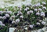 Globularia cordifolia 1,000 seeds