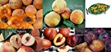 5-N-1 Fruit Salad Tree: Includes These 5 Varieties: (July Elberta Peach, Fantasia Nectarine, Santa Rosa Plum, Babcock White Peach, Blenheim Apricot) All grafted onto 1 Tree.