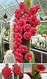 Bolivicereus Cleistocactus Samaipatanus * Very Rare * Amazing Cactus * 10 Seeds