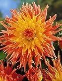 Star Elite Cactus Dahlia