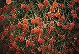 Gomphrena Haageana Qis Series Orange Annual Seeds