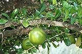 8 Seeds of Crescentia Cujete - Calabash Tree - Rare Tropical Plant Tree Seeds