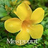 Allamanda violacea Seeds Seeds Petals flower Seeds Bonsai For Flower 100 Seeds 4 #32680021841ST