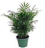 """Shop Succulents Parlor Palm Chamaedorea 6"""" Pot"""