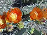 Spineless Thornless Prickly Pear, Nopal Verde Opuntia, (Live Plant Cutting) Buy 1 Get 1 FREE