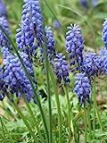 "-Bulk- GRAPE HYACINTH ""Muscari"" 150+Perennial Seeds"