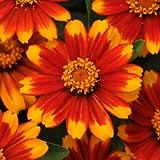 Zinnia Zahara Sunburst Seeds - Flower Seeds Package - 250 Seeds