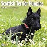 2020 Scottish Terrier Puppies Calendar 16 Month 12 x 12 Wall Calendar by Bright Day Calendars