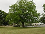 2 Hardy Pecan Nut Trees