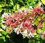 Abelia Canyon Creek Potted Plant, Beautiful Fragrant Flowering Perennial Plant