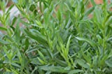 Tarragon Seeds- Heirloom Herb- 200+ Seeds