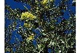 15 Pithecellobium dulce 15 Seeds Manila Tamarind Madras Thorn Aromatic Flowers Butterfly Host -Hummingbirds Love Aztec name cuauhmôchit