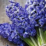 Zouvo 10/20/ 50/100 Particle Hyacinthus Orientalis Seeds Bonsai Flower Seeds (10)