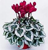 100 Seeds Mini Cyclamen Bonsai Flower Seeds Exotic Perennial Flower Seeds 7#32799552227ST