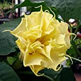 New Crop!! Yellow Datura - Double - Triple Blooms! VERY BEAUTIFUL(10 - Seeds)