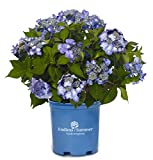 Endless Summer Collection - Hydrangea mac. Endless Summer Twist-N-Shout (Reblooming Hydrangea) Shrub, RB pink or blue, #2 - Size Container