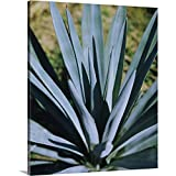 """Close-up of a Blue Agave (Agave Tequilana) Plant, Mexico Canvas Wall Art Print, 20""""x24""""x1.25"""""""