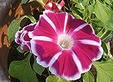 Morning Glory Seeds Japanese Rosita Morning Glory (Ipomoea Nil Rosita) 10 Seed !