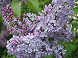 Syringa oblata, purple flowering EarlyLilac/Chinese Lilac, 50 plant seeds.