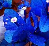 Solution Seeds Farm Rare Heirloom Blue Bougainvillea Spectabilis Willd Bonsai Seeds, 200 Seeds.