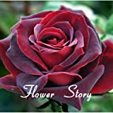 HOO PRODUCTS- 120 Hybrid Tea Rose Black Pearl Seeds Good Aroma DIY Home Garden Bush Bonsai Yard Flower Cheap!