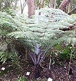 Cyathea dealbata - Silver Tree Fern - 10 seeds