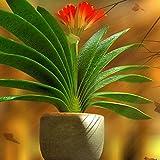 Afco 1Pc African Kaffir Lily Clivia Miniata Seeds Garden Yard Bonsai Plant