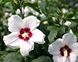 Hibiscus syriacus 'Red Heart',20 Seeds-Bloom summer to Fall,Cold Hardy,Perennial