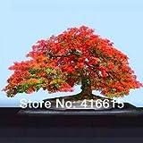 30 Delonix Regia Bonsai Seeds- Royal Poinciana - Flamboyant Tree - Exotic Tree Seed